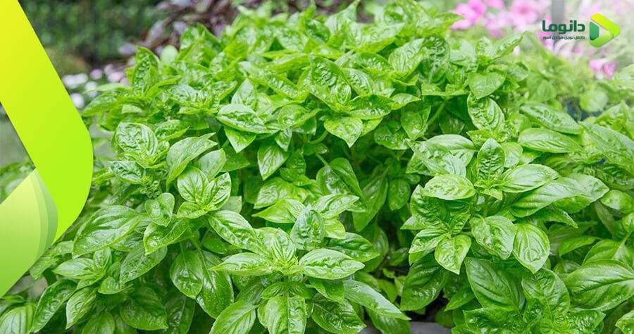 مراحل و نکات کاشت سبزی ریحان در باغچه و گلدان