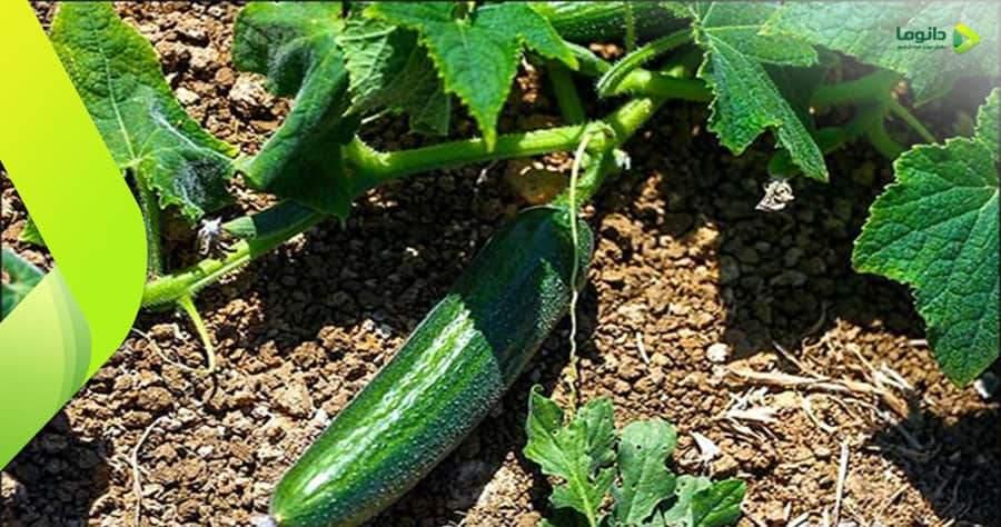 مراحل و نکات کاشت خیار در باغچه و گلدان