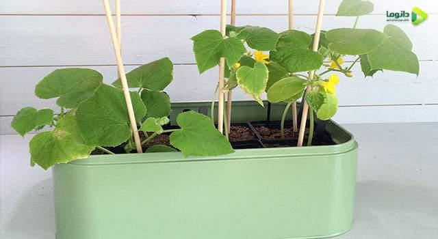 کاشت خیار در گلدان